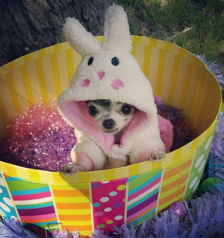 Happy Easter! #chihuahua #teacupchihuahua #microchihuahua
