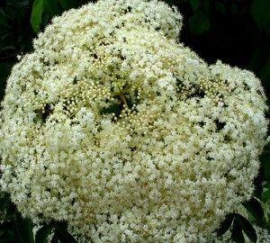 elderflower kombucha recipe