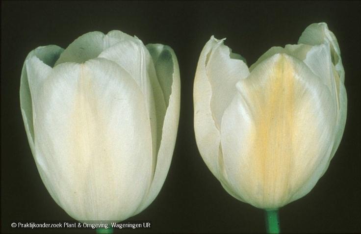 Tulpenmozaiekvirus: Aantasting bloemen
