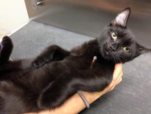 Adopt All Black Cat