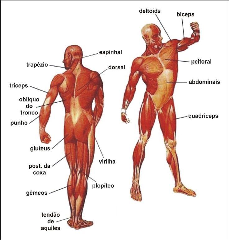 Mejores 23 imágenes de Músculos do Corpo Humano en Pinterest ...