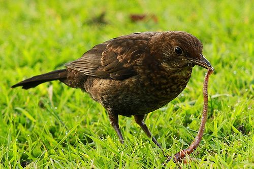 Blackbird with worm | I watched this female blackbird strugg… | Flickr