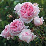 Růže Pelcovi - David Austin® Roses - Anglické růže
