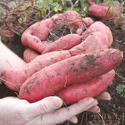 Georgia Jet Sweet Potatoes