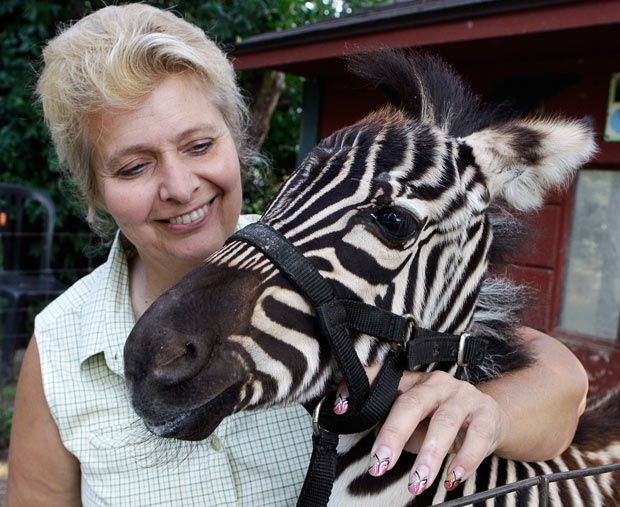Cindy Huntsman pets baby zebra Savanah at her Stump Hill Farm in Massillon, Ohio, USA. Huntsman is among those fighting a deal cut by the Humane Society, Governor Ted Strickland and leading farm groups that included the promise of an exotic pet ban
