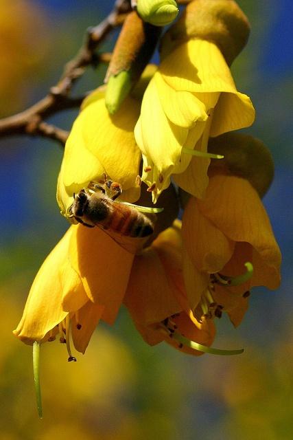 Sophora chathamica   coastal kowhai  Fabaceae  August