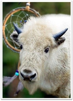 Blizzard is a white buffalo (or North American Bison) calf