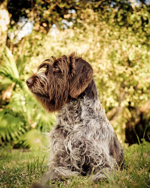 Hina (Wirehaired Pointing Griffon) by Neptunecocktail, via Flickr