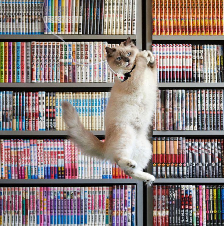 52 magnifiques photos de chats qui sautent   53 superbes photos de chats qui sautent jumping cats 33