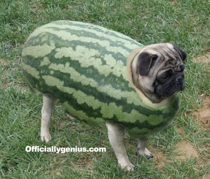 Pug Melon | PUG | Pinterest | Pug, Watermelon and Lol