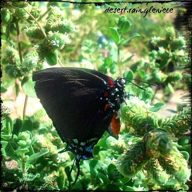 I found a pair of these gorgeous Great Purple Hairstreak butterflies tip-toeing upon my flowering Marjoram plant.  The iridescent blue and green on their wing tips winking as they moved in the October sun.  I could watch them all day. (But I was getting a muscle cramp and I had to get back to work.) #greatpurplehairstreak #marjoram #iloveherbs #butterflylove #desertgardening #homesteader