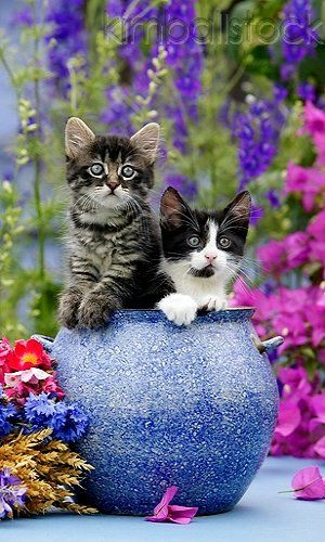 Tabby And Black And White Kittens Peeking Out Of Blue Flower Pot On Table By Purple Flowers | Photographer:Klein-Hubert