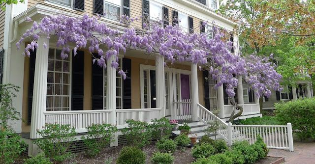 Beautiful wisteria!: Gorgeous Porches, Anurbancottag Bl, Country Houses, Wisteria Walks, Bloom Wisteria, Old Houses, Cottages Flowers I Lik, Front Porches, Urban Cottages