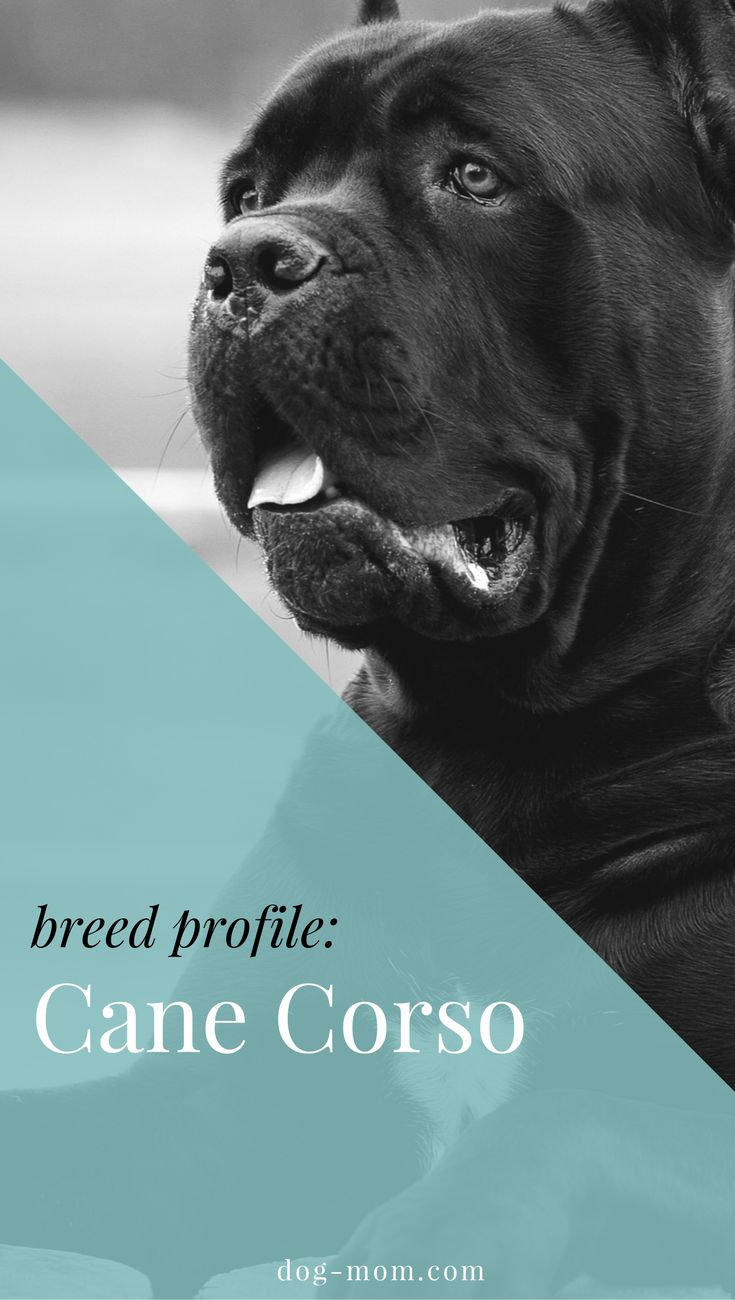 Cane Corso | Italian Mastiff | Mastiffs | Giant Breeds | Dog Breeds