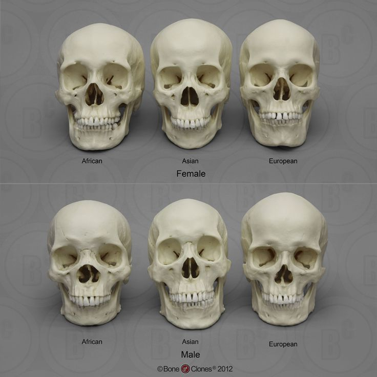 Human Male and Female Skulls: African, Asian, and European