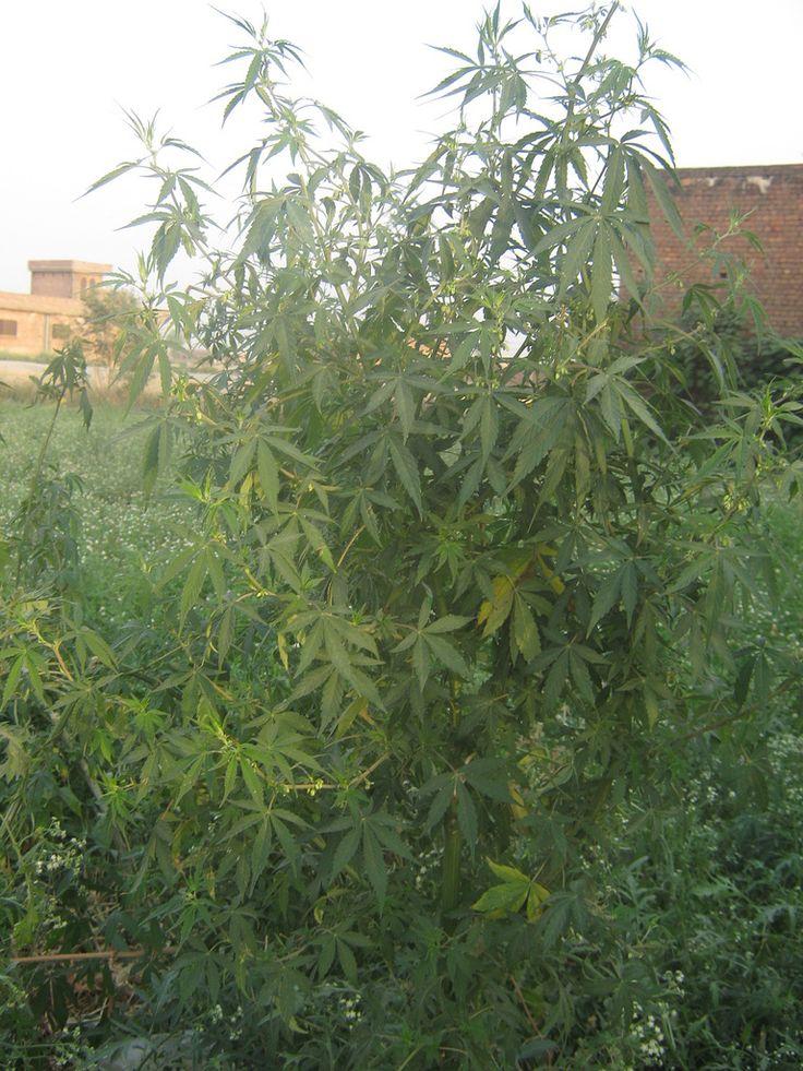 Cannabis indica plant