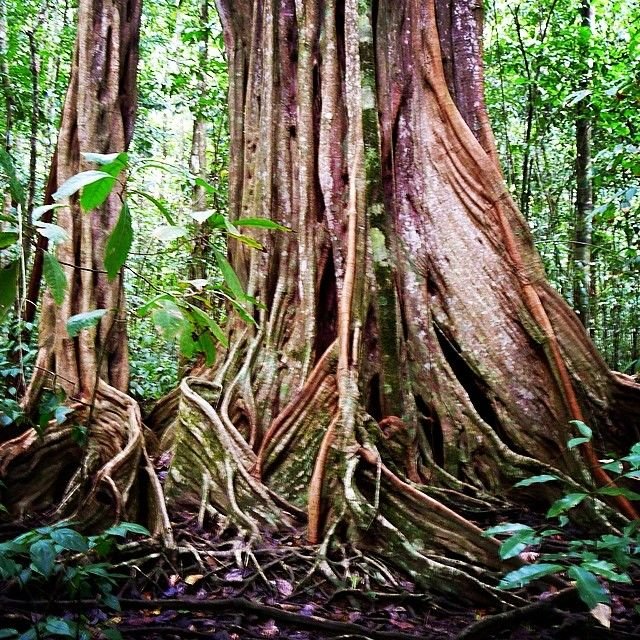 The most #beautiful #trees - #nationalpark #corcovado #costarica - via www.reisezeilen.de