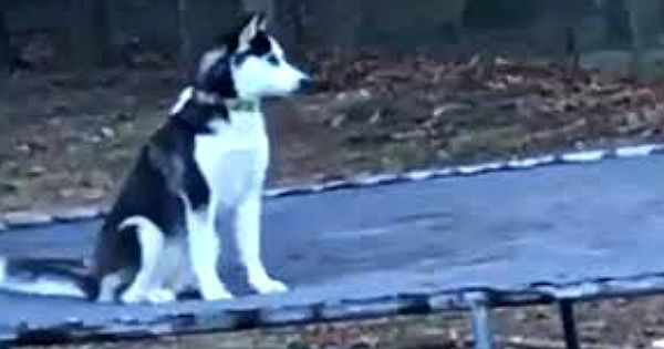 Husky springt stiekem op de trampoline – Tot hij wordt betrapt door zijn baasje