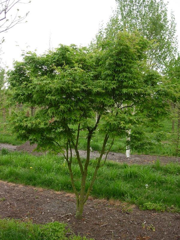 Japanse Esdoorn, meerstammig, Acer palmatum kopen | Ten Hoven Boomkwekers Apeldoorn