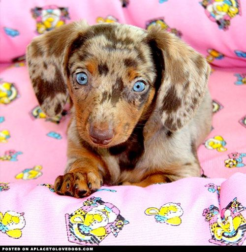 Adorably sweet dapple Dachshund puppy with stunning blue eyes!