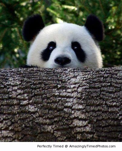 Peek a boo – The panda just likes to play hide and seek. He wants you to play with him.