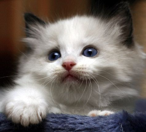 I want a ragdoll cat :)