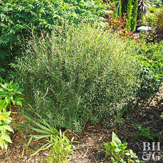 If you don't have room for a weeping willow tree, consider one of the fantastic willow shrub varieties. Willows are tolerant of poor, wet soil and grow well in full sun or part shade. The vigorous plants are easily pruned into hedge form if desired. See our favorite willow shrubs. #willow #gardening #landscaping #shrubs