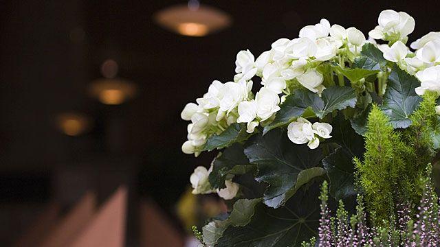 Tipps zum richtigen Standort für Begonien, welche Pflege-Tipps man für die Pflanzen beachten sollte und wie man Knollenbegonien richtig überwintert.
