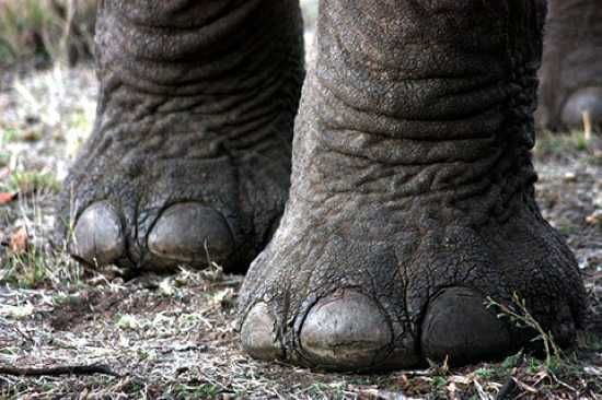 "Elephant toe nails - elephants walk on their ""tippy toes"""