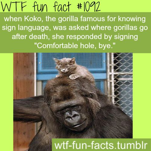 Koko the gorilla - animals facts (source click here)   MORE OF WTF-FUN-FACTS are coming HERE  funny and weird facts ONLY