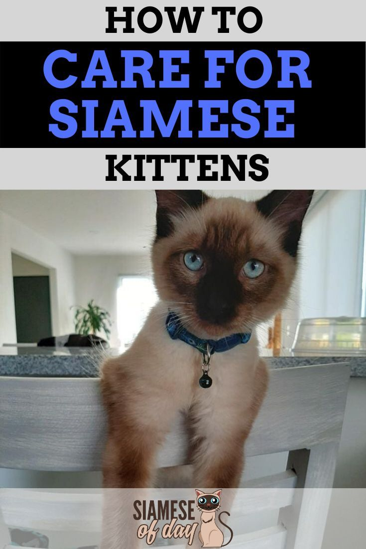 6 Ways To Care For Siamese Cats Siamese Of Day Siamese Kittens Bringing Home A Kitten Kitten Care