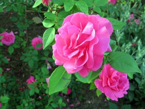 151 best images about roses that are best for the lower south on pinterest gardens fragrance - Rose cultivars garden ...