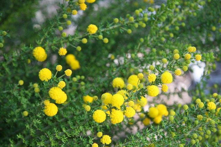 Acacia prainii | by Westflora
