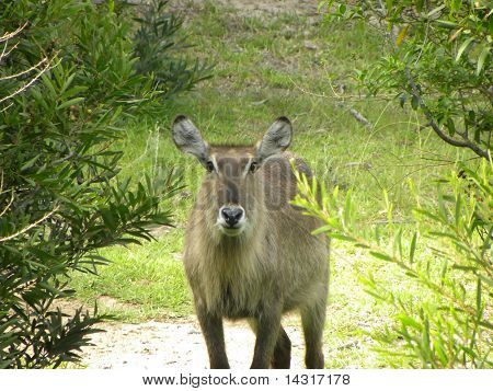 Curious female Water Buck