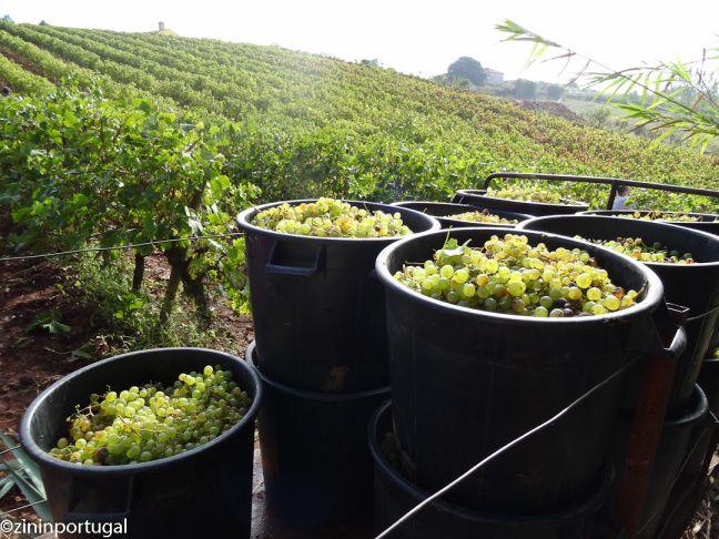 Druiven plukken in Portugal. Lees het op https://zininportugal.wordpress.com/2015/09/21/vindima-druiven-plukken-in-portugal/