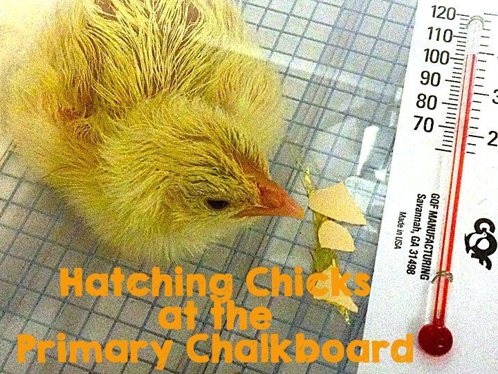 Peep..Peep...Hatching Chicks... Cool online videos, an awesome real-time hatchling video from a farm, and just some F.U.N.!