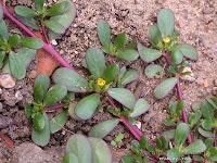 Medicinal Plants: Portulaca oleracea 马齿苋  harvesting tips:用指头掐,能掐下来的就是蛮嫩的