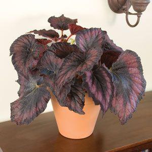 Begonia 'Her Majesty' (Begonia Rex Hybrid)