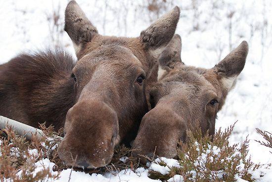 Christmas Moose by Scott Engel