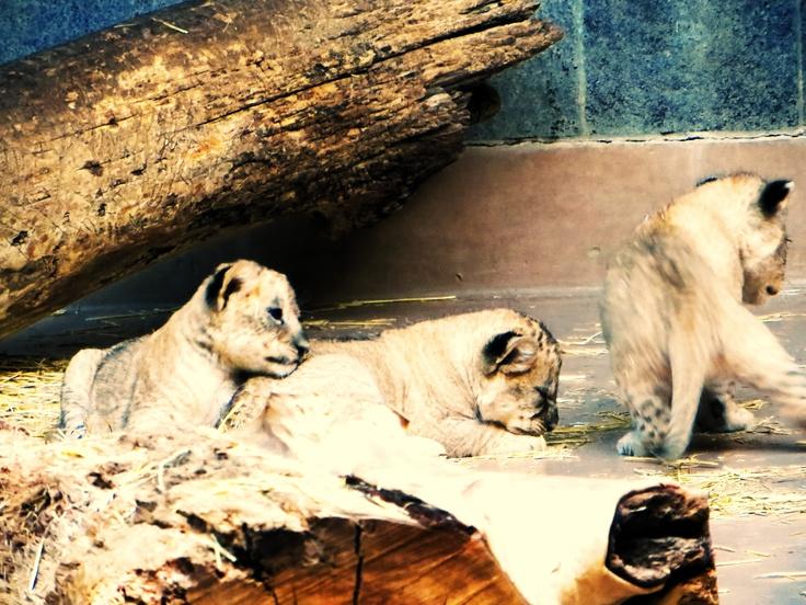 lion cubs 2, Omaha Zoo