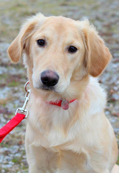 25+ best ideas about Golden Retriever Rescue on Pinterest ...