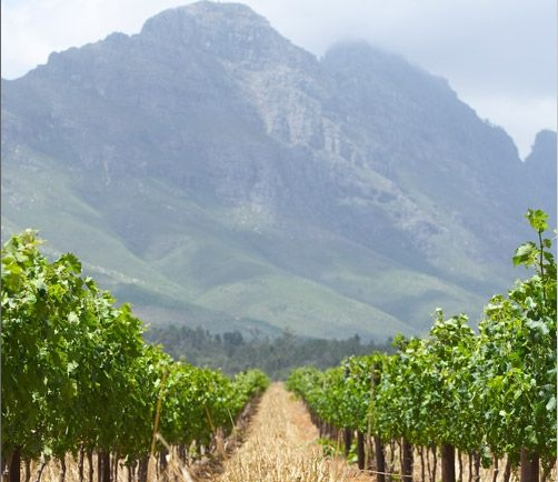 One of the South African vineyards I can thank for my new Pinotage obsession - Kanonkop Stellenbosch Pinotage vineyards