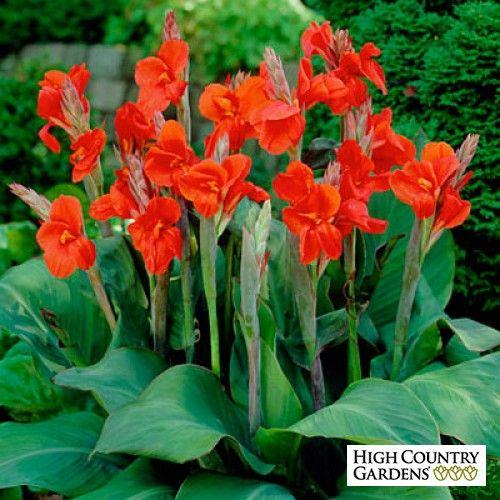 canna lily bulbs