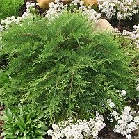 SIBERIAN CYPRESS 'CELTIC PRIDE' (Microbiota decussata 'Celtic Pride'): If you are looking for a small evergreen with all season colour, this is the plant for you! 'Celtic Pride' is a charming, but hardy, low-growing evergreen for full sun or partial shade. Its green foliage turns an attractive reddish-brown in winter. Prefers well-drained, moist soil. Seldom needs pruning. Excellent disease resistance. Mature size 1'-3'H x 5'-6'W. Zones 2 to 7 - naturehills.com