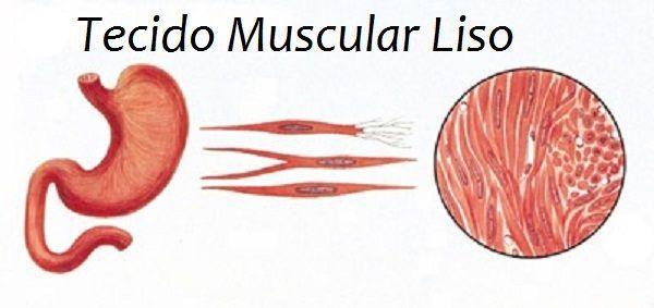 Tecido muscular liso   https://bioquimicadoexercicio.wordpress.com/2013/06/01/tipos-de-tecido-muscular/