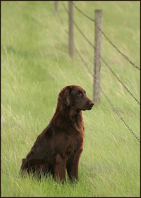 """flat coated retriever...looks just like our """"Chisholm"""", who passed 12 years ago...we loved him <3"""