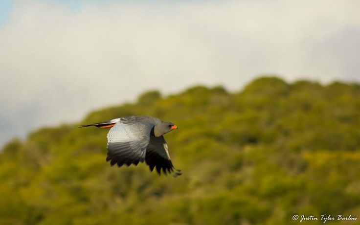 Photographed by: Ranger, Justin Tyler Barlow on Amakhala Game Reserve. #birdlife #amakhala