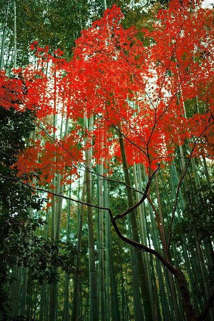 ✯ Bamboo - Kyoto, Japan