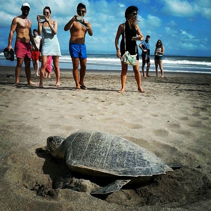 Tourist watching Turtle drop her eggs at Seminyak beach Bali Indonesia.