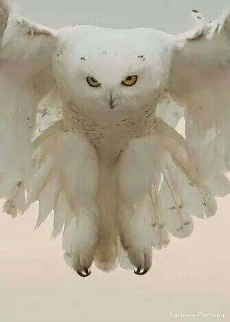 Snowy owl. ••••(KO) What a beautiful creature! But don't be fooled, this bird is a predator! Fierce and skilled! Look out wee creatures! She's on the hunt!